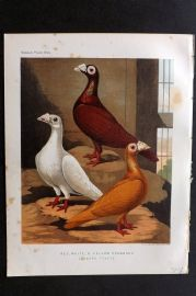 Fulton - Pigeons 1878 Antique Bird Print. Red, White & Yellow Dragoons